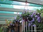 Streptocarpus caulescens or Nodding Violet