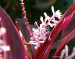 more Cordyline 'Red Wings' flowers