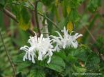 Justicia carnea or Brazilian Plume Flower
