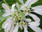 Euphorbia leucocephala or Snowflake Bush