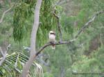 Kookaburra sitting in a gum tree
