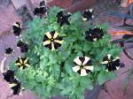 Petunia 'Bumblebee'