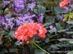 Rosebud Pelargonium