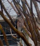 Coopers Hawk came looking for lunch